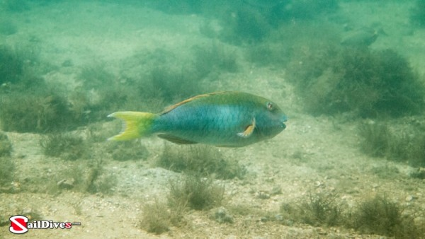 Yellowtail Parrotfish Terminal Phase