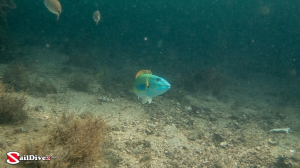 Redtail Parrotfish Terminal Phase