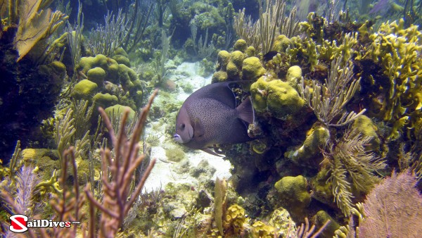 Belize, Grey Angelfish