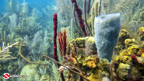 Specialized Scuba Belize Belize Reef Image Azure Vase Sponge