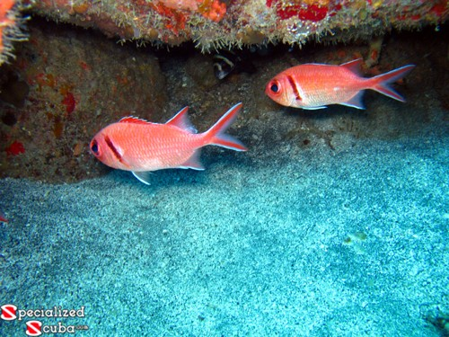 Blackbar Cardinalfish