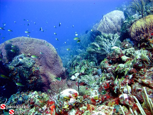 Brown Chromis, sponges and corals