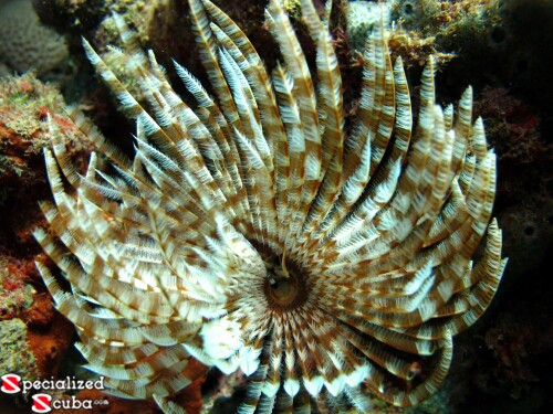 Magnificent Feather Duster Worm