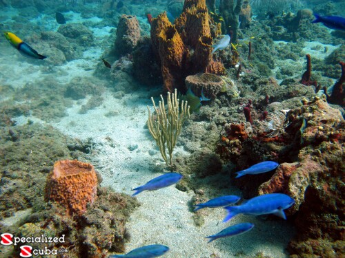 Yellowhead Wrasse, Blue Chromis and assorted sponges