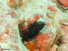 160829---spinyhead-blenny---img_0280_lr_canon-powershot-g16.