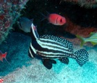 Spotted Drumfish