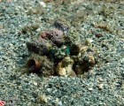 Banded Jawfish in hole