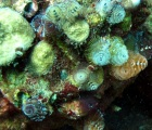 Multi-colored Christmas Tree Worms