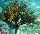 Large Tree Sized Sea Rod