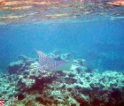Eagle Ray in Anguilla