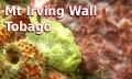 Mt Irving Wall - Tobago (Frogfish)