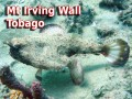 Mt Irving Wall - Tobago (Batfish)